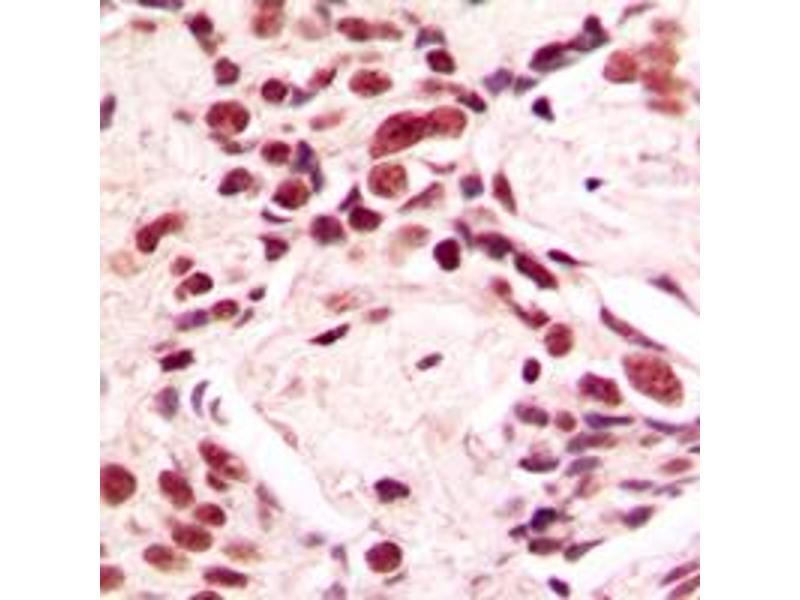 Immunohistochemistry (IHC) image for anti-Lamin A/C antibody (LMNA) (Center) (ABIN2706457)