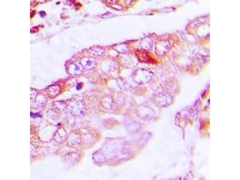 Immunohistochemistry (IHC) image for anti-Tubulin, alpha 4a (TUBA4A) (full length) antibody (ABIN6005062)