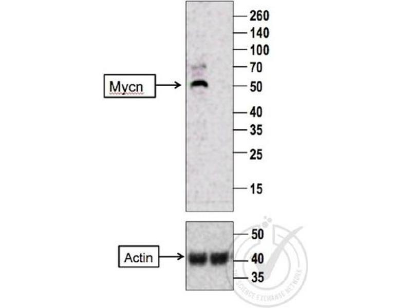 Western Blotting (WB) image for anti-MYCN 抗体 (Mycn) (AA 410-464) (ABIN760676)