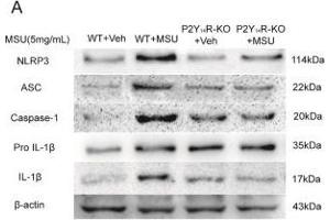 Image no. 12 for anti-NLR Family, Pyrin Domain Containing 3 (NLRP3) (AA 15-120) antibody (ABIN1386361)