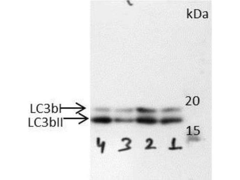 Western Blotting (WB) image for anti-Microtubule-Associated Protein 1 Light Chain 3 beta (MAP1LC3B) (AA 1-100), (N-Term) antibody (Biotin) (ABIN250639)
