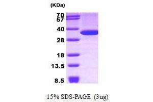 Image no. 1 for Annexin A5 (ANXA5) (AA 1-320) protein (ABIN935066)