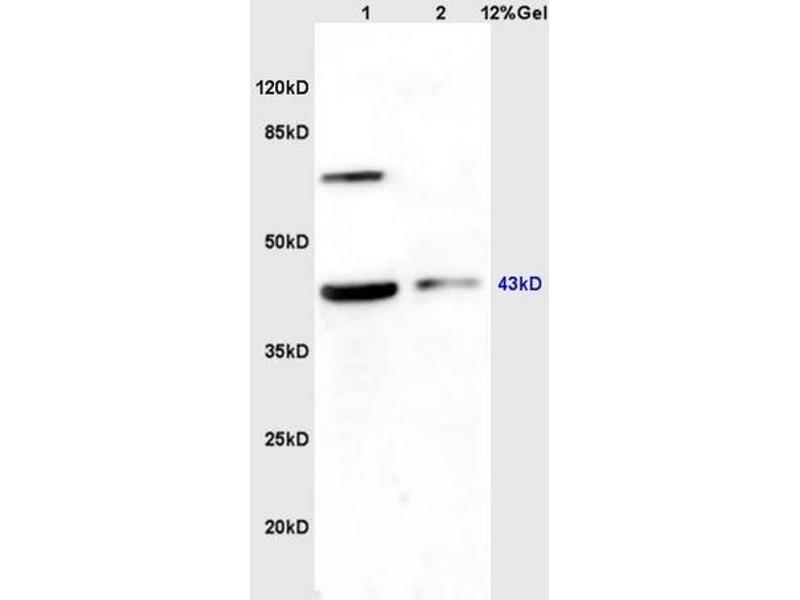 SDS-PAGE (SDS) image for anti-WNT2B antibody (Wingless-Type MMTV Integration Site Family, Member 2B) (AA 341-391) (ABIN675728)