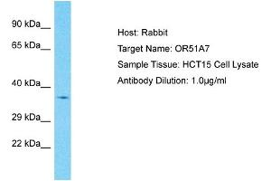 Image no. 1 for anti-Olfactory Receptor, Family 51, Subfamily A, Member 7 (OR51A7) (C-Term) antibody (ABIN2791825)