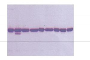 Western Blotting (WB) image for anti-Tubulin, alpha 4a (TUBA4A) (C-Term) antibody (ABIN265862)