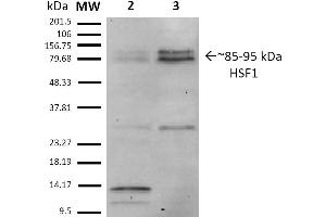Image no. 3 for anti-Heat Shock Factor Protein 1 (HSF1) (AA 378-395) antibody (PE) (ABIN2484632)
