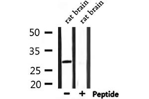 Image no. 3 for anti-Activating Transcription Factor 1 (AFT1) antibody (ABIN6256913)