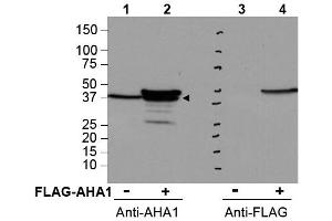 image for anti-AHA1, Activator of Heat Shock 90kDa Protein ATPase Homolog 1 (Yeast) (AHSA1) (Internal Region) antibody (ABIN401377)