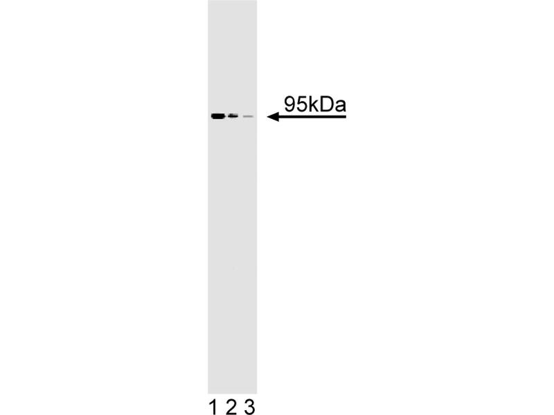 Western Blotting (WB) image for anti-Fragile X Mental Retardation, Autosomal Homolog 2 (FXR2) (AA 520-639) antibody (ABIN968478)