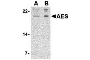 Western Blotting (WB) image for anti-AES antibody (Amino-terminal Enhancer of Split) (N-Term) (ABIN2155083)