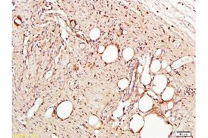 Image no. 1 for anti-Platelet/endothelial Cell Adhesion Molecule (PECAM1) (AA 621-650) antibody (ABIN669006)