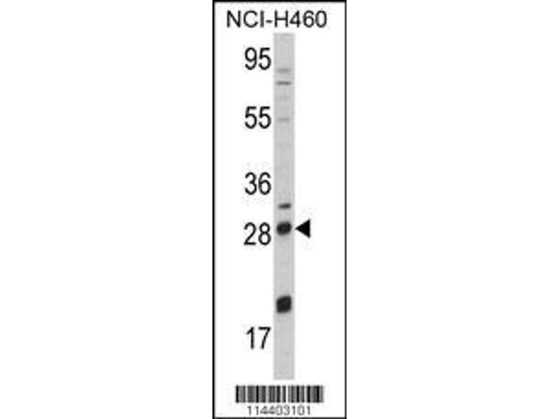 Western Blotting (WB) image for anti-Nerve Growth Factor beta (NGFB) (AA 84-115), (Center) antibody (ABIN392194)