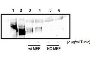 image for anti-PERK antibody (Eukaryotic Translation Initiation Factor 2-alpha Kinase 3) (AA 601-1115) (ABIN400976)