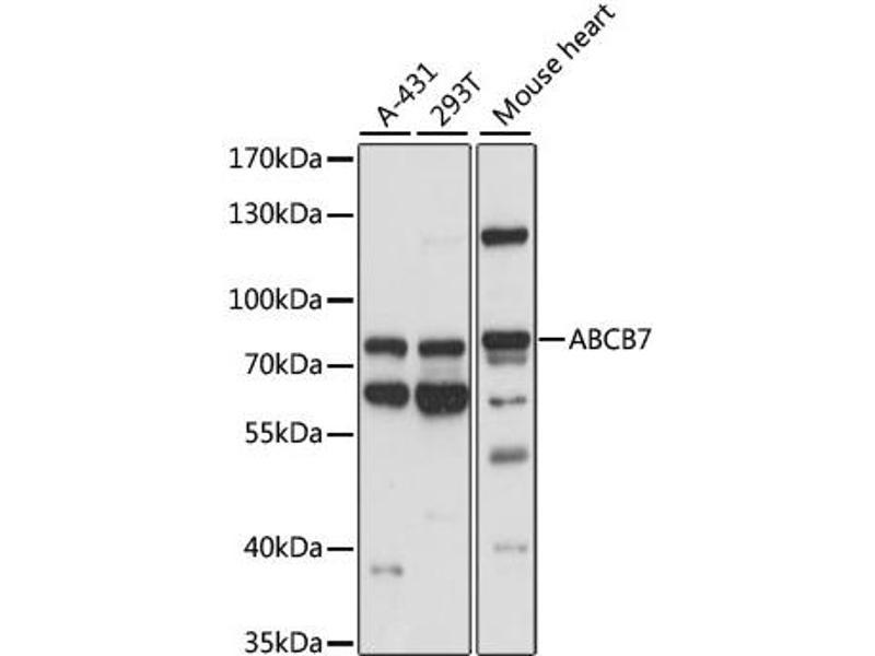 Image no. 1 for anti-ATP-Binding Cassette, Sub-Family B (MDR/TAP), Member 7 (ABCB7) antibody (ABIN6568439)
