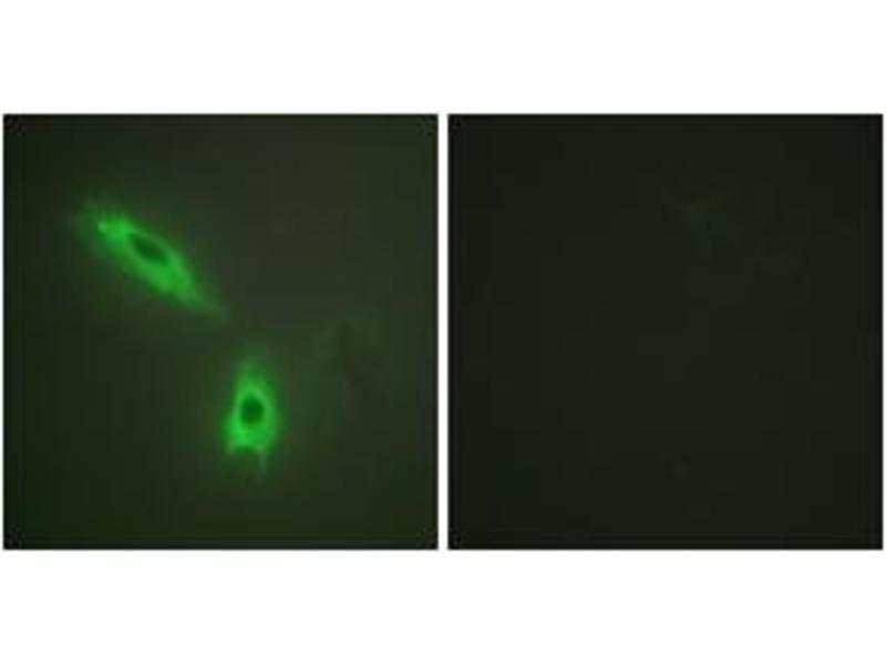 Immunofluorescence (IF) image for anti-LTB antibody (Lymphotoxin beta (TNF Superfamily, Member 3)) (ABIN1533839)