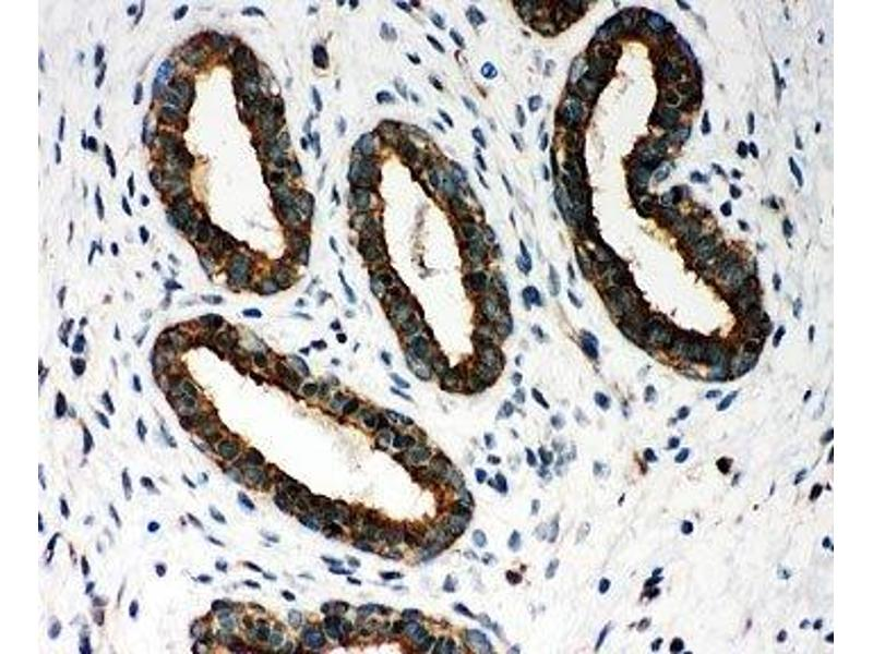Immunohistochemistry (IHC) image for anti-Peroxiredoxin 1 (PRDX1) (Middle Region) antibody (ABIN3028921)
