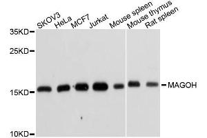 Image no. 1 for anti-Mago-Nashi Homolog, Proliferation-Associated (Drosophila) (MAGOH) antibody (ABIN6143444)