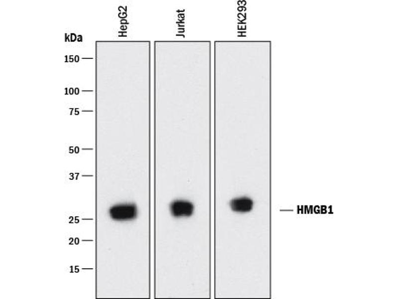 Western Blotting (WB) image for anti-High-Mobility Group Box 1 (HMGB1) (AA 2-215) antibody (ABIN4899428)