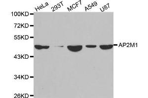 Image no. 1 for anti-Adaptor-Related Protein Complex 2, mu 1 Subunit (AP2M1) antibody (ABIN3023307)