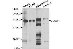Western Blotting (WB) image for anti-Cytoplasmic Linker Associated Protein 1 (CLASP1) antibody (ABIN2561882)