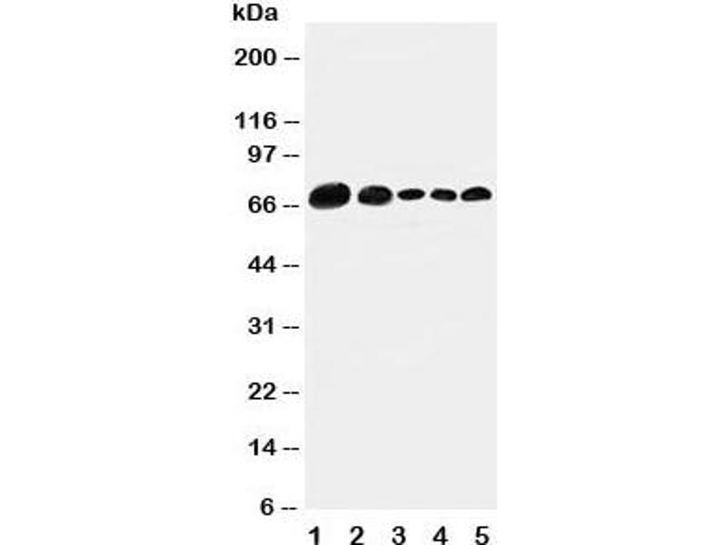 Western Blotting (WB) image for anti-Paxillin (PXN) (AA 456-472) antibody (ABIN3032168)