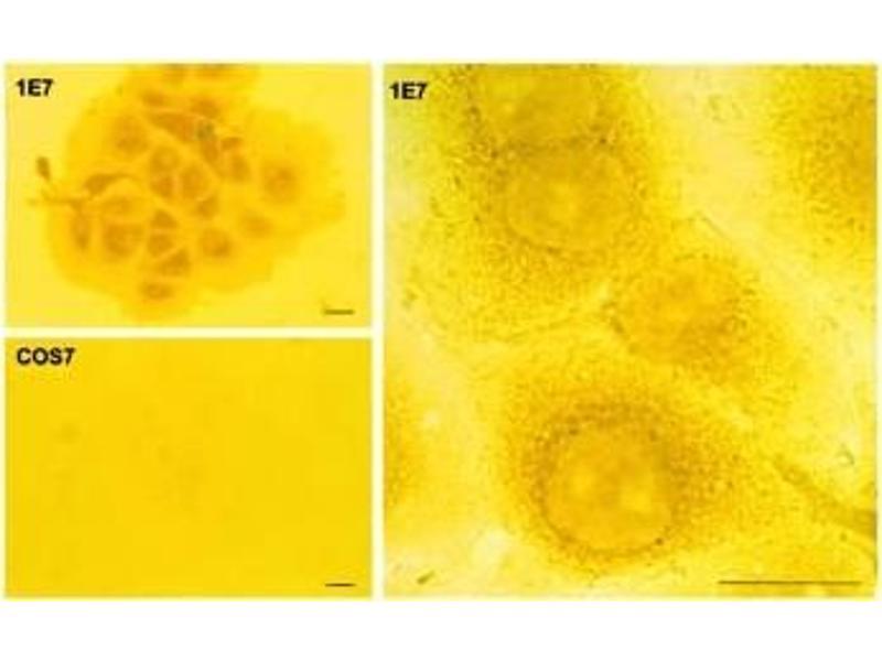 Immunohistochemistry (IHC) image for anti-AANAT antibody (Aralkylamine N-Acetyltransferase) (ABIN250114)
