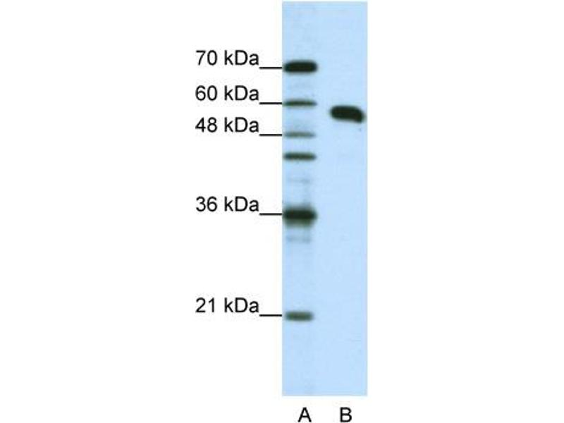 Western Blotting (WB) image for anti-Non-POU Domain Containing, Octamer-Binding (NONO) (N-Term) antibody (ABIN184023)