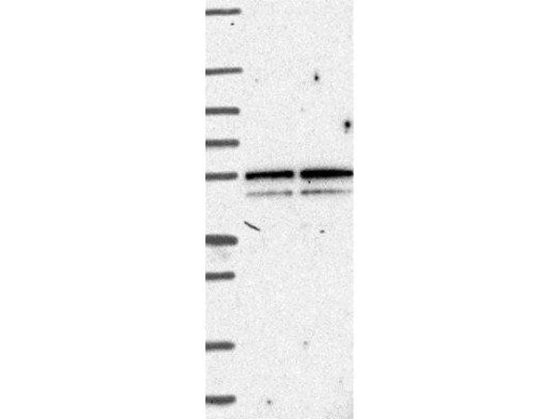 Western Blotting (WB) image for anti-G Protein-Coupled Receptor 1 (GPR1) antibody (ABIN4315554)