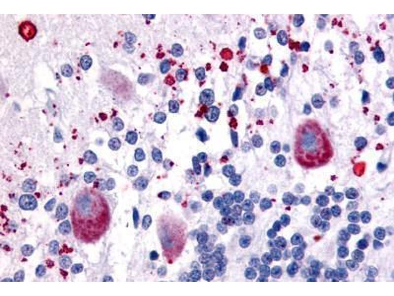Immunohistochemistry (Paraffin-embedded Sections) (IHC (p)) image for anti-5-Hydroxytryptamine (serotonin) Receptor 7 (Adenylate Cyclase-Coupled) (HTR7) (C-Term) antibody (ABIN213559)