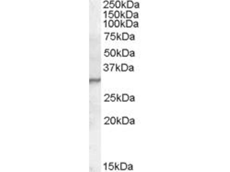 Western Blotting (WB) image for anti-Peptidoglycan Recognition Protein 1 (PGLYRP1) (C-Term) antibody (ABIN2466730)