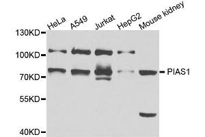Western Blotting (WB) image for anti-Protein Inhibitor of Activated STAT, 1 (PIAS1) antibody (ABIN2564529)