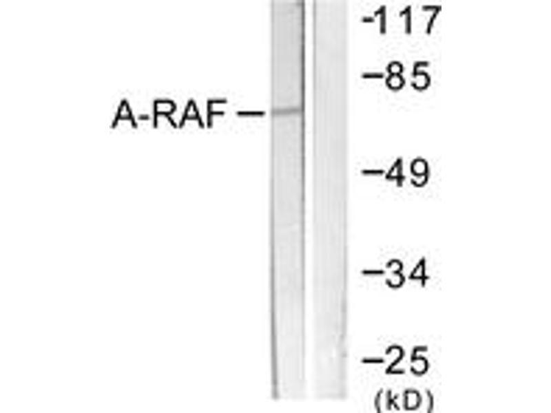 Western Blotting (WB) image for anti-V-Raf Murine Sarcoma 3611 Viral Oncogene Homolog (ARAF) (AA 276-325) antibody (ABIN1532501)