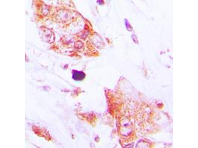Immunohistochemistry (IHC) image for anti-CDC42 Effector Protein (Rho GTPase Binding) 2 (CDC42EP2) (N-Term) antibody (ABIN2707411)