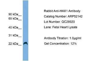 Image no. 1 for anti-HCLS1 Associated Protein X-1 (HAX1) (Middle Region) antibody (ABIN2784796)