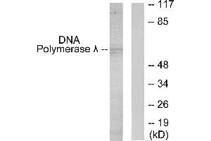 Image no. 1 for anti-Polymerase (DNA Directed), lambda (POLL) antibody (ABIN1576095)