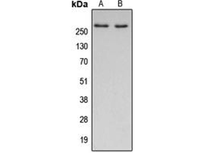 Image no. 2 for anti-Acetyl-CoA Carboxylase alpha (ACACA) (N-Term) antibody (ABIN2707301)
