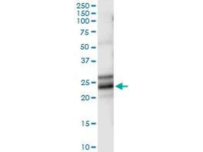Immunoprecipitation (IP) image for anti-Neurotrophin 4 (NTF4) (AA 1-210), (full length) antibody (ABIN518446)