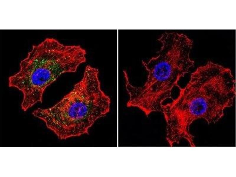 Immunofluorescence (IF) image for anti-NFAT1 antibody (Nuclear Factor of Activated T-Cells, Cytoplasmic, Calcineurin-Dependent 2) (AA 51-69) (ABIN152663)