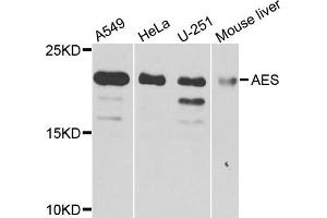 Western Blotting (WB) image for anti-Amino-terminal Enhancer of Split (AES) antibody (ABIN2736244)