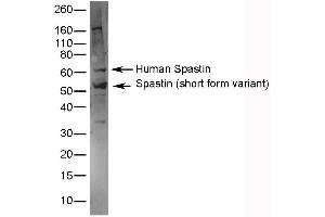 Western Blotting (WB) image for anti-Spastin antibody (SPAST) (AA 130-142) (ABIN2476562)