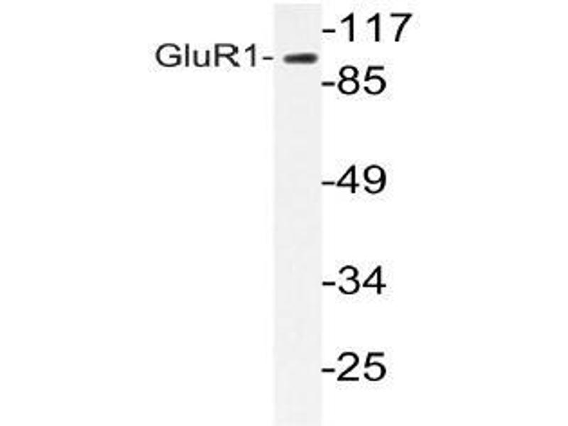 Western Blotting (WB) image for anti-GRIA1 antibody (Glutamate Receptor, Ionotropic, AMPA 1) (ABIN498650)