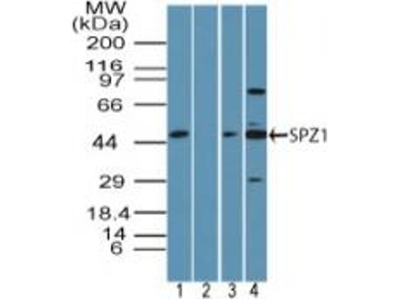 image for anti-SPZ1 antibody (Spermatogenic Leucine Zipper 1) (AA 40-90) (ABIN960358)