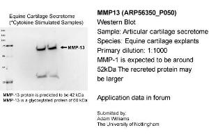 Image no. 2 for anti-Matrix Metallopeptidase 13 (Collagenase 3) (MMP13) (Middle Region) antibody (ABIN2786656)