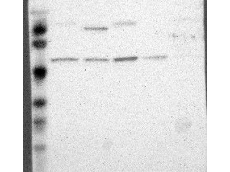 Image no. 1 for anti-Apolipoprotein B mRNA Editing Enzyme, Catalytic Polypeptide-Like 3G (APOBEC3G) antibody (ABIN4281137)