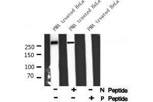 Western Blotting (WB) image for anti-E1A Binding Protein P300 (EP300) (pSer1834) antibody (ABIN6271336)