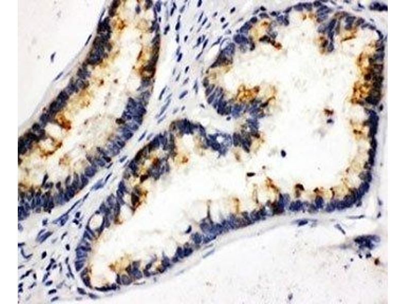 Immunohistochemistry (IHC) image for anti-Kallikrein 6 antibody (KLK6) (C-Term) (ABIN3031530)