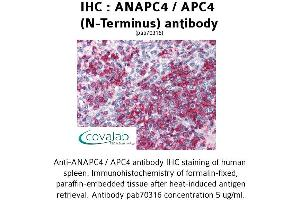 Image no. 2 for anti-Anaphase Promoting Complex Subunit 4 (ANAPC4) (N-Term) antibody (ABIN1731762)