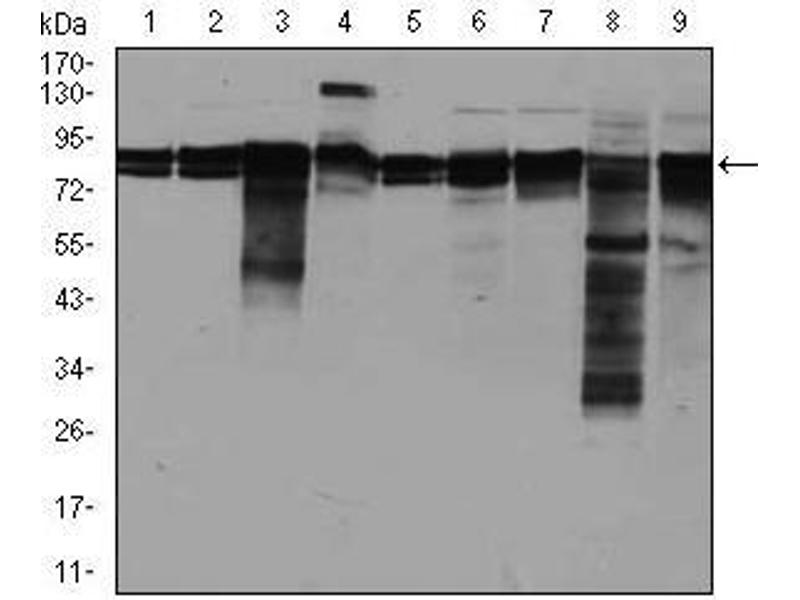 Western Blotting (WB) image for anti-Eukaryotic Translation Initiation Factor 4B (EIF4B) antibody (ABIN969517)