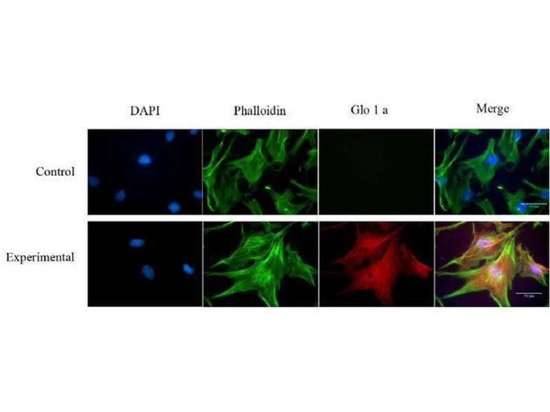 Immunofluorescence (IF) image for anti-Glyoxalase I (GLO1) antibody (ABIN449661)