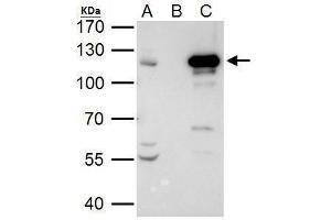 Image no. 3 for anti-Signal Transducer and Activator of Transcription 2, 113kDa (STAT2) (C-Term) antibody (ABIN2855558)